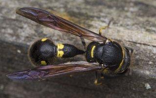 Eumenes pedunculatus female · ąsotvapsvė ♀ 5671
