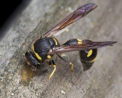 Eumenes pedunculatus female · ąsotvapsvė ♀ 5672