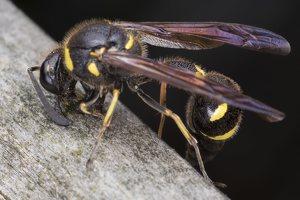 Eumenes pedunculatus female · ąsotvapsvė ♀ 5673