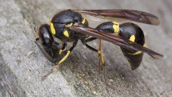 Eumenes pedunculatus female · ąsotvapsvė ♀ 5675