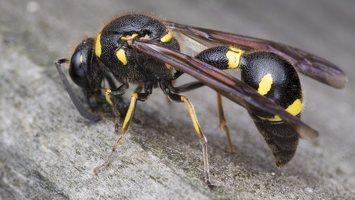 Eumenes pedunculatus female · ąsotvapsvė ♀ 5676