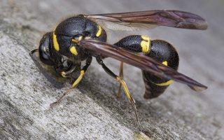 Eumenes pedunculatus female · ąsotvapsvė ♀ 5677