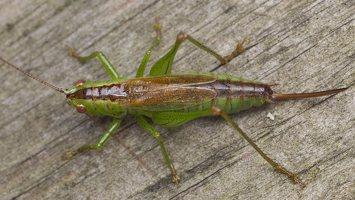 Conocephalus dorsalis · pelkinis smailiagalvis 5685