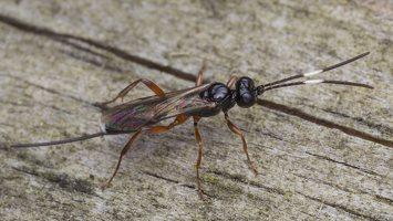 Hymenoptera · plėviasparnis 5687