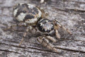 Salticus cingulatus female · baltašonis šokliavoris ♀ 5693