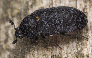 Dermestes murinus · margasis kailiavabalis 5695