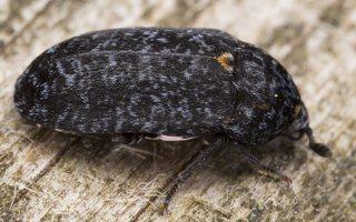 Dermestes murinus · margasis kailiavabalis