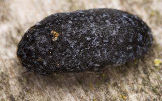 Dermestes murinus · margasis kailiavabalis 5698