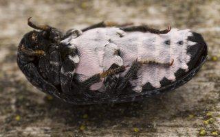 Dermestes murinus · margasis kailiavabalis 5700