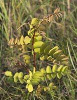 Robinia pseudoacacia · baltažiedė robinija 5748