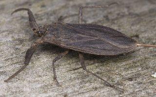 Nepa cinerea · pilkoji skorpionblakė 5756