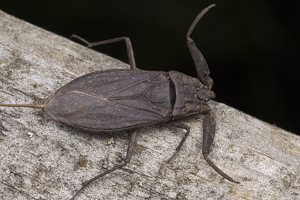 Nepa cinerea · pilkoji skorpionblakė 5758