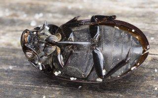 Hydrochara caraboides · žygiškasis kūdravabalis 5775
