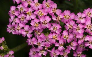 Achillea millefolium · paprastoji kraujažolė 5779