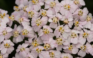 Achillea millefolium · paprastoji kraujažolė 5780
