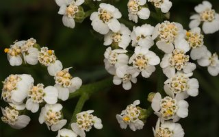Achillea millefolium · paprastoji kraujažolė 5781