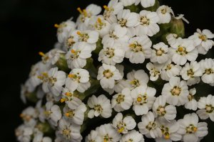Achillea millefolium · paprastoji kraujažolė 5782