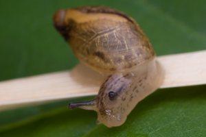 Succineidae · gintariniai 5794