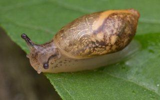 Succineidae · gintariniai 5795