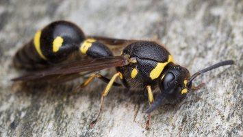 Eumenes pedunculatus female · ąsotvapsvė ♀ 5797