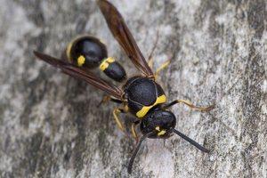 Eumenes pedunculatus female · ąsotvapsvė ♀ 5798