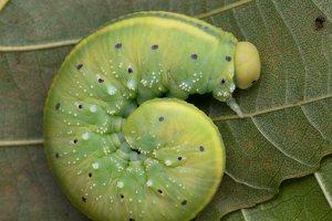 Cimbex luteus larva · gluosninis cimbeksas, vikšras 5861