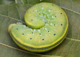 Cimbex connatus larva · alksninis cimbeksas, vikšras 5863