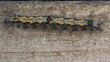 Lithosia quadra caterpillar · keturtaškė kerpytė, vikšras 5877
