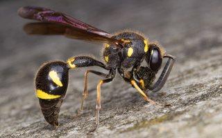 Eumenes pedunculatus female · ąsotvapsvė ♀ 5898