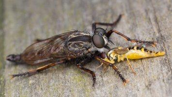 Asilidae · musė plėšrūnė 5911