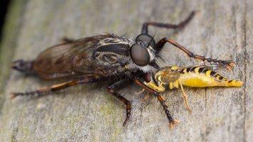 Asilidae · musė plėšrūnė 5912