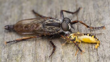 Asilidae · musė plėšrūnė 5913
