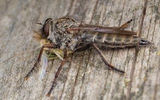 Asilidae · musė plėšrūnė 5920