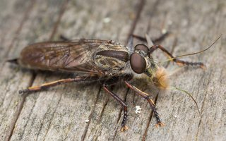Asilidae · musė plėšrūnė 5921