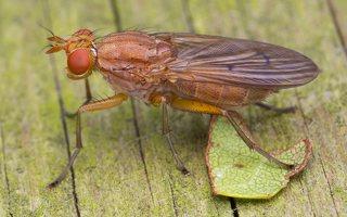 Dryomyzidae