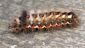 Acronicta rumicis caterpillar · rūgštyninis strėlinukas, vikšras 5939
