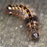 Acronicta rumicis caterpillar · rūgštyninis strėlinukas, vikšras 5940