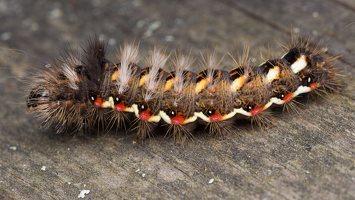 Acronicta rumicis caterpillar · rūgštyninis strėlinukas, vikšras 5941