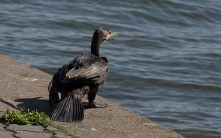 Phalacrocorax carbo · didysis kormoranas 5960