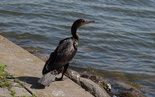 Phalacrocorax carbo · didysis kormoranas 5961