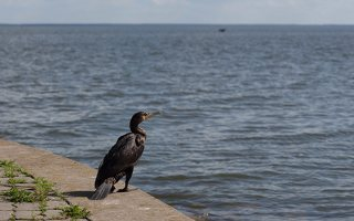 Phalacrocorax carbo · didysis kormoranas 5962