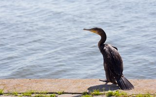 Phalacrocorax carbo · didysis kormoranas 5964