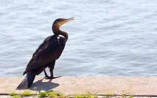 Phalacrocorax carbo · didysis kormoranas