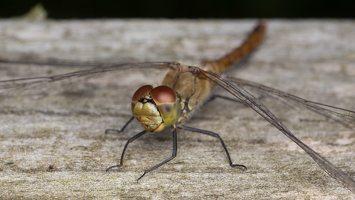 Sympetrum sanguineum female · kruvinoji skėtė ♀ 5969