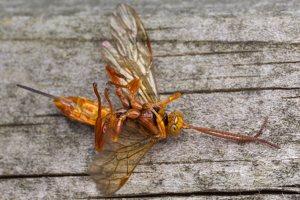 Hymenoptera · plėviasparnis 5973