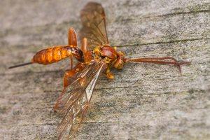 Hymenoptera · plėviasparnis 5974