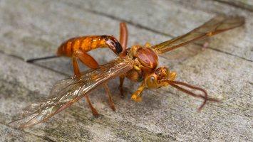Hymenoptera · plėviasparnis 5975