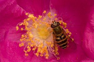 Syrphidae · žiedmusės 5984