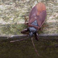 Gastrodes grossipes · storakojė dirvablakė 5999
