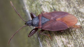 Gastrodes grossipes · storakojė dirvablakė